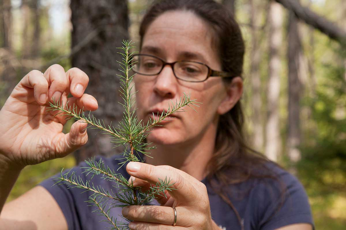 image of Dr. Rebecca Montgomery conducting research on a small pine sapling